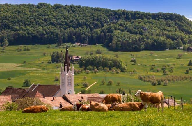 Des vaches. Image d'illustration.