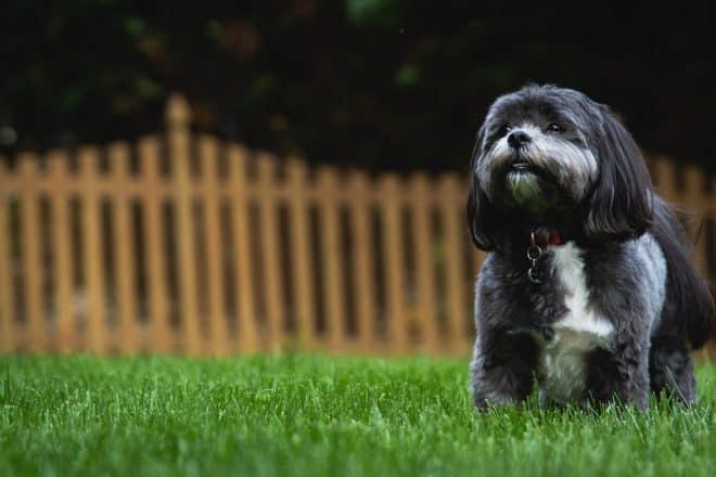 Un chien Shih Tzu. Image d'illustration.