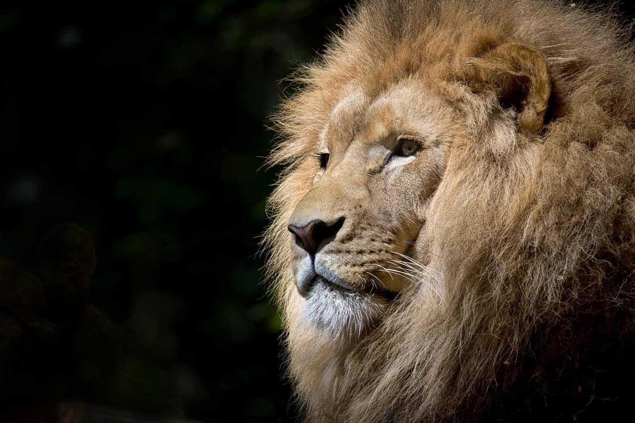 Kenya : un lion tue un homme à Nairobi après s'être échappé d'un Parc national
