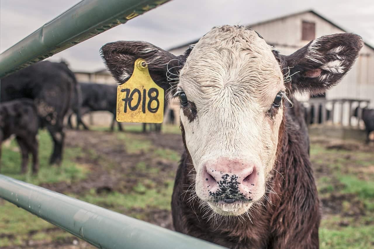 Morbihan : un agriculteur reçoit 4,22 euros pour la vente de son veau