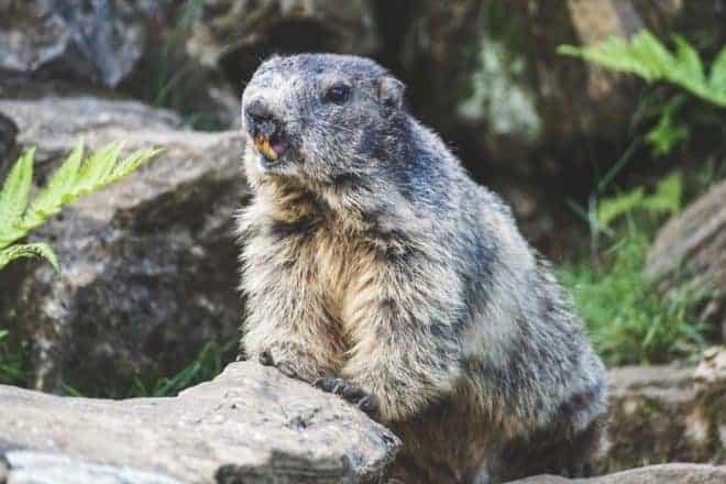 Une marmotte. Image d'illustration.