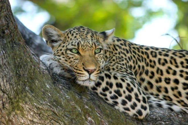 Un léopard.