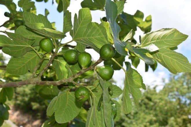 Des feuilles de figuier. Image d'illustration.