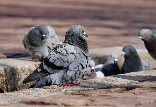 Des pigeons. Image d'illustration.