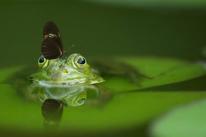Une grenouille. Image d'illustration.