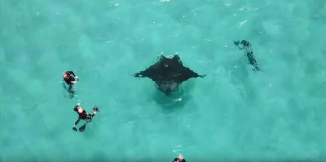 Une raie manta et des plongeurs à même de l'aider (Australie).