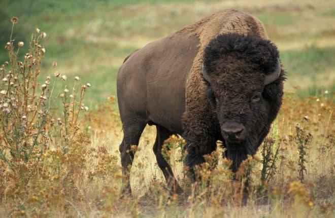 Illustration. Un bison.