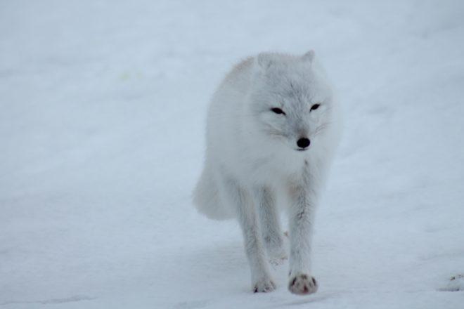 Illustration. Un renard polaire.