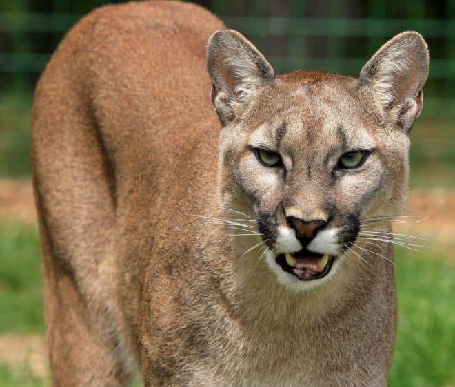 Un cougar. Image d'illustration.