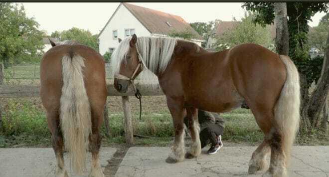Illustration. Des chevaux comtois.
