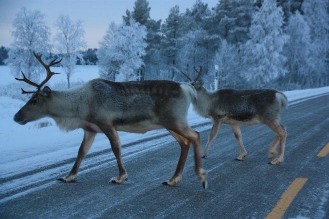 Illustration. Des rennes traversent une route en Laponie.