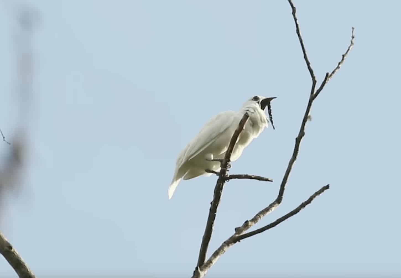 Amazonie : l'araponga blanc, oiseau le plus bruyant au monde