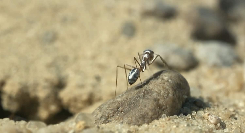 Dans le Sahara, la fourmi la plus rapide du monde fait 47 pas par seconde