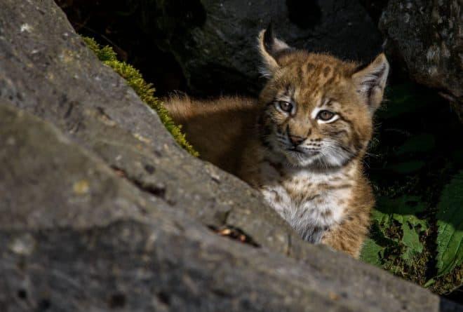 Illustration. Un jeune lynx.