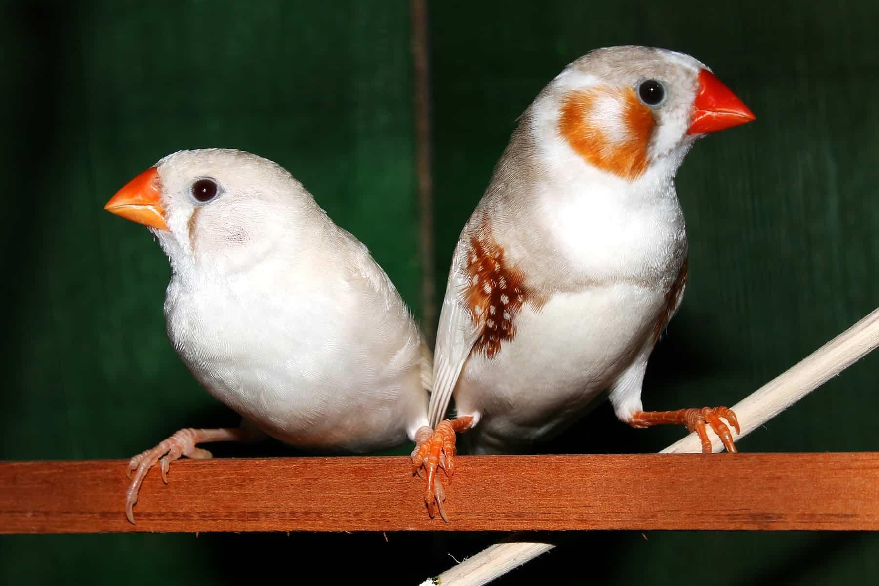 Des souvenirs implantés dans le cerveau d'oiseaux pour leur apprendre à chanter