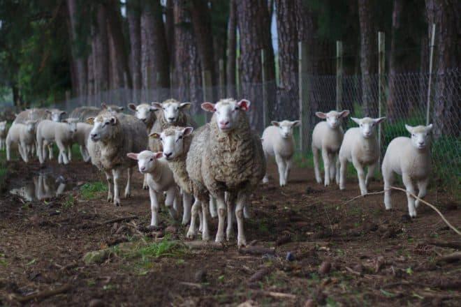 Illustration. Un troupeau de moutons.