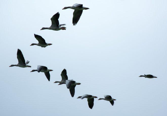 Illustration. Un vol d'oies sauvages.