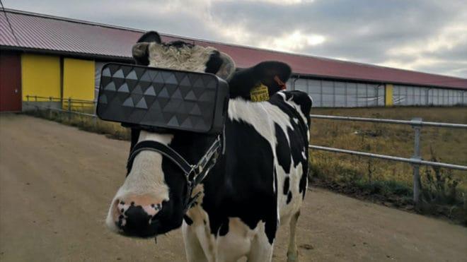 Une vache équipée d'un casque de réalité virtuelle.