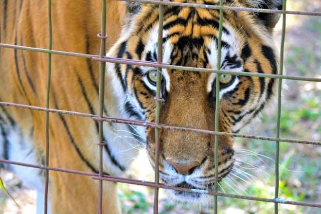 Un tigre en cage. Image d'illustration.