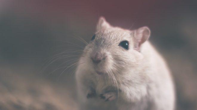 Une souris. Image d'illustration.