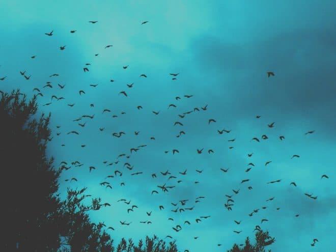 Illustration. Un vol d'étourneaux.