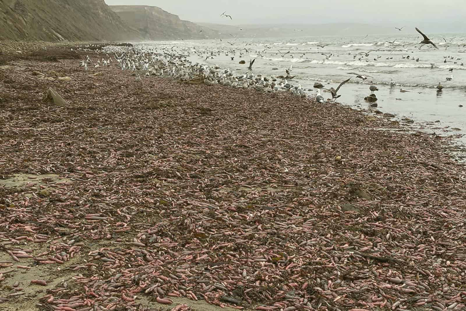 """Californie : des milliers de """"poisson-pénis"""" échoués sur une plage"""