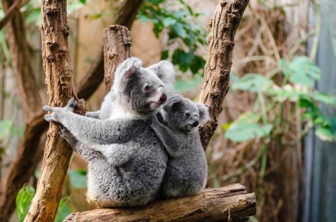Illustration. Deux koalas.