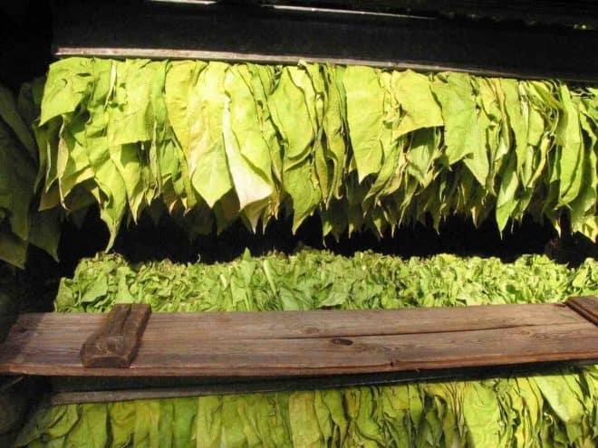 Illustration. Des feuilles de tabac.