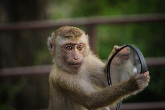 Un singe. Image d'illustration.