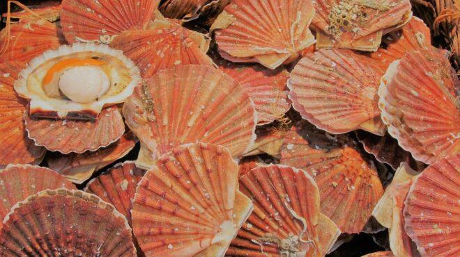 Des coquilles Saint-Jacques. Image d'illustration.