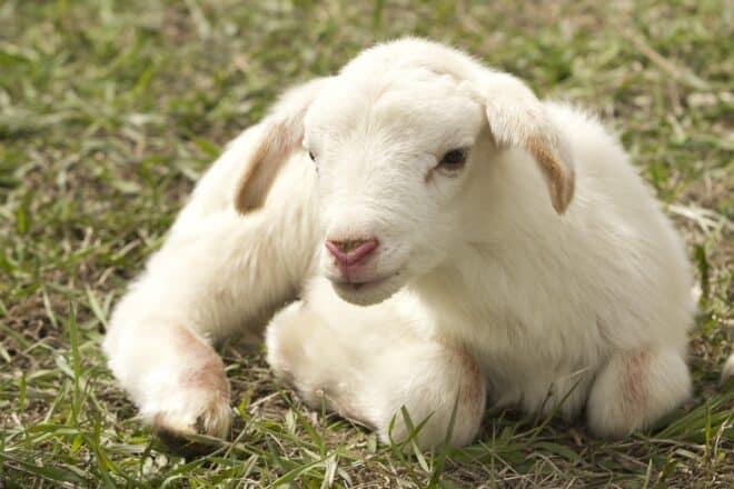Un agneau. Image d'illustration.