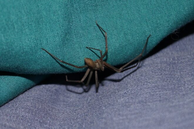 "Araignée ""recluse"". Image d'illustration."